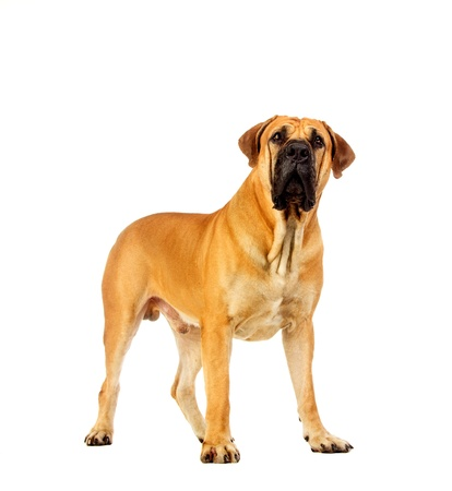 boerboel dog: South african mastiff, isolated on white Stock Photo