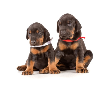 Group of dobermann puppies on white background