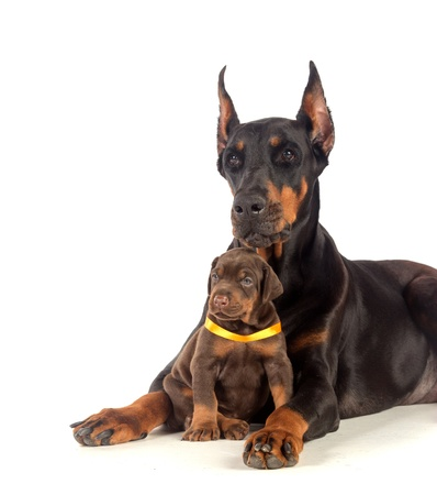 Black Doberman dog with puppy on white photo