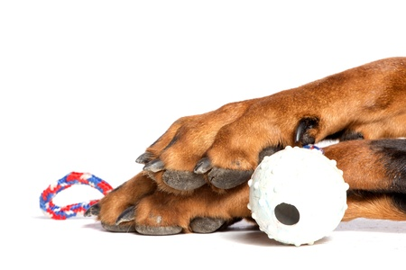 paw smart: Dogs paw with ball, isolated on white