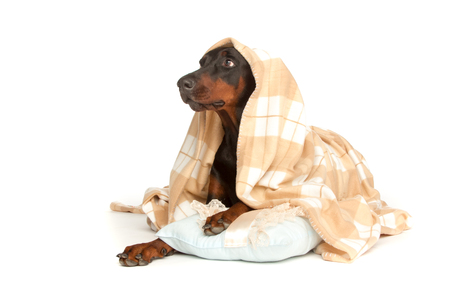 Very sick dog under a blanket, isolated on white