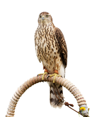 Falcon sitting on support, isolated on white Banco de Imagens