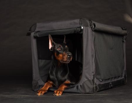 Doberman dog near by cage on black background Banque d'images