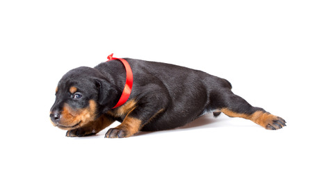 Doberman puppy in red ribbon, isolated on white photo