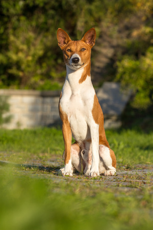 pawl: Small hunting dog breed Basenji looking forward