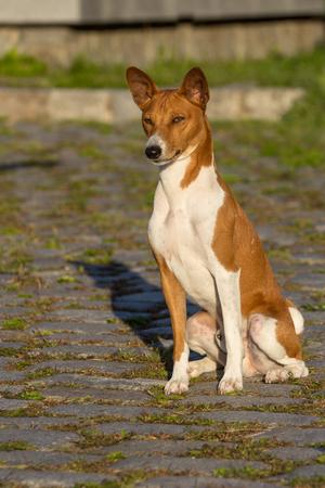 pawl: Small hunting dog breed Basenji looking forward