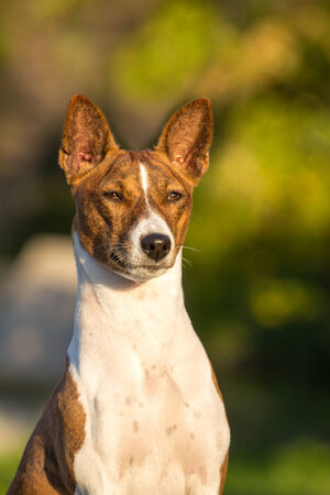 pawl: Piccolo cane da caccia di razza Basenji in attesa