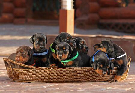 7 doberman puppies in basket, outdoors Stock Photo