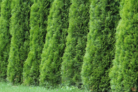 Green thuja wall, thuya background