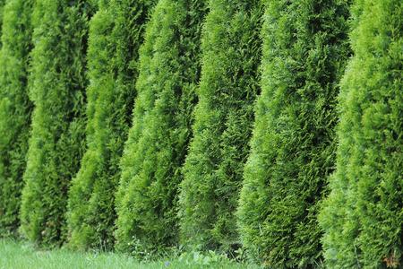 Green thuja wall, thuya background