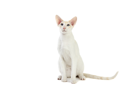 interested baby: Purebred cute siamese cat studio shot, isolated on white background