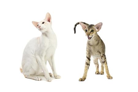 hunter playful: Purebred cute siamese cat studio shot, isolated on white background