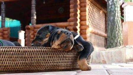 Group of doberman puppies in basket, outdoors