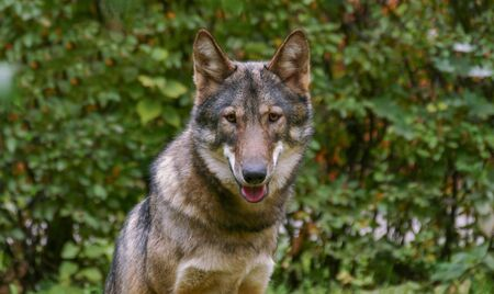 Gray Wolf Face Close Up portrait Stock Photo