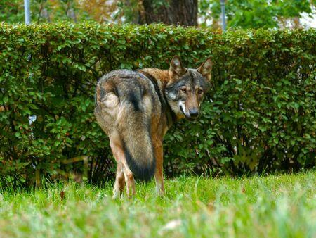 Wolf Face Close Up portrait. Back view. Фото со стока