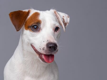 Cute face of Jack Russell Terrier puppy. Outdoors close up portrait.