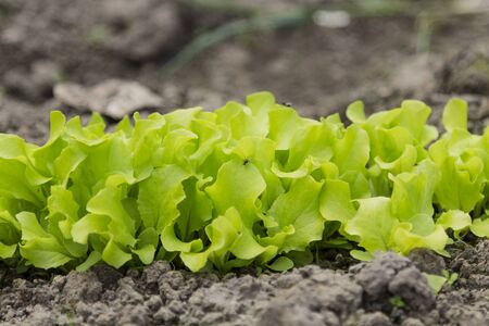 Green salad, which grows in the garden. Salad young and very useful. Banque d'images