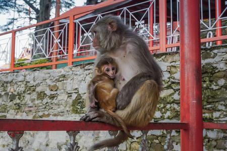 Mamá mono con un cachorro. India Foto de archivo