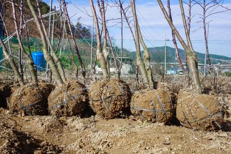 Vorbereitung zum Umpflanzen von Pflanzensetzlingen in Südkorea