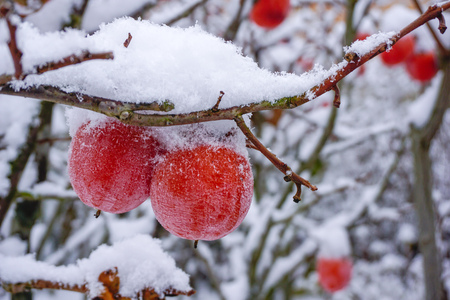 Persimmon on a branch in the snow