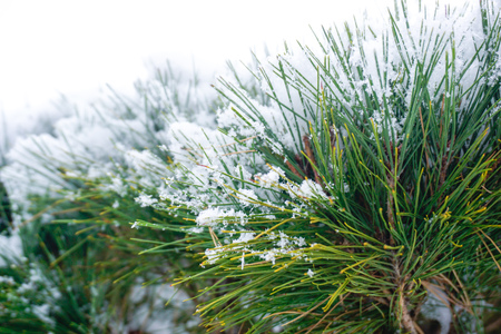 Snow on the branches of the spruce plant