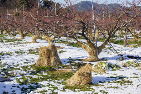 Warming trees with straw in South Korea Imagens