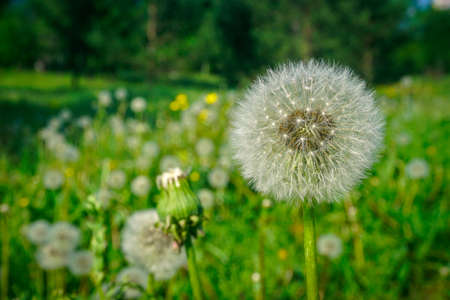 Beautiful blooming dandelion on the field