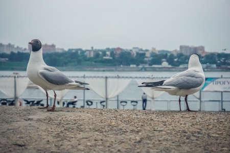 Funny seagulls on the embankment of Irkutsk, Siberia Stock Photo