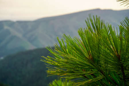 Green twig from a pine tree in the mountains Stock Photo