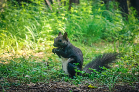 A squirrel in the forest eats nuts