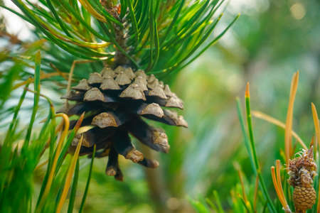 Pine cone on a branch of a pine tree in a natural reserve
