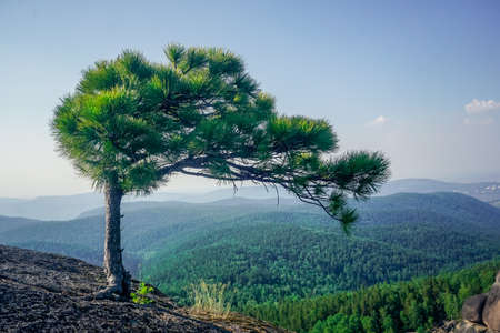 A lonely pine tree on a rock