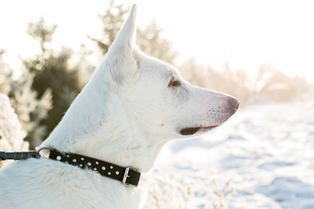 white lonely Berger Blanc Suisse dog watching to the snowy forest. Front view portrait. Space for your text.