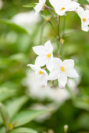 Beautiful white flowers with yellow stamens against a background of green leaves in soft focus. 免版税图像