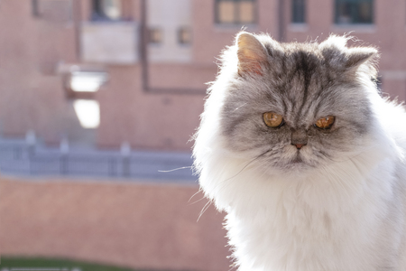 Black and white fluffy Persian cat on the balcony against the background of a brick house Imagens - 115668907