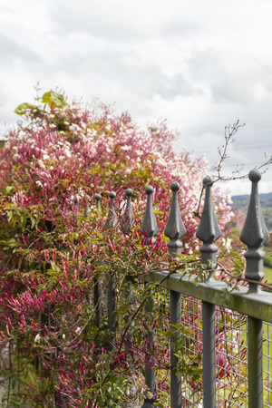 Metal fence with flowering plant and pink flowers. Figured tips on top.