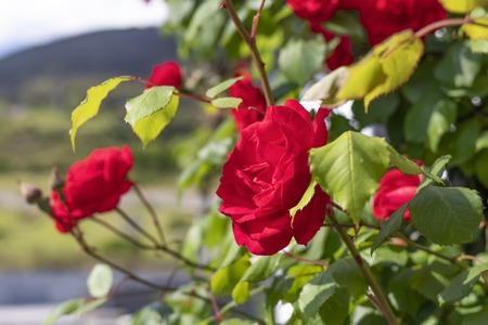Red fresh flowers of roses on a bush in the garden against the backdrop of a mountain slope and blue sky