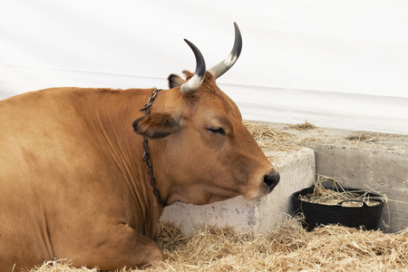 A well-fed healthy cow with big horns lies in a modern barn on hay