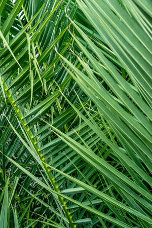 Close up view of fresh green palm leaves. Tropical background. Vertical view