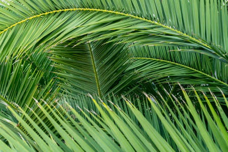 Close up view of fresh green palm leaves. Tropical background