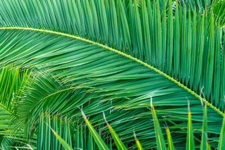 Beautiful branches of a tropical palm tree close up in the jungle. Ecological tropical background. Green leaves texture