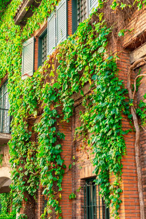 Wall of a brick building is overgrown with ivy with green windows and shutters. Colorful city view. Masonry with vegetation Standard-Bild