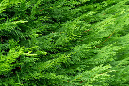 Beautiful green foliage on a thuja branch. Hedge. Blurred background. Selective focus. Cedar in a landscaped garden. Фото со стока