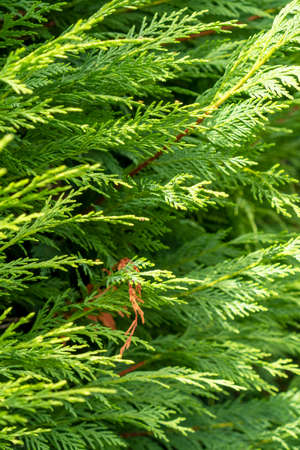 Cedar hedge texture. Beautiful green branches of thuja close up