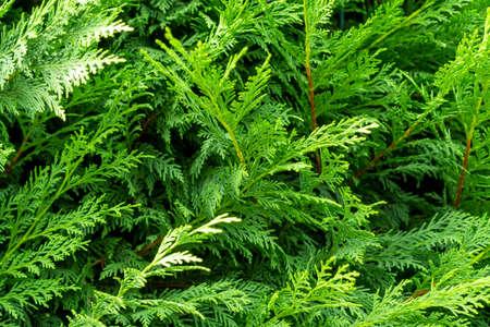 Beautiful green branches of thuja close up Фото со стока