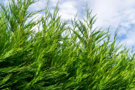Beautiful hedge of thuja branches. Green foliage of a cedar. Against the background of the blue sky. In a landscaped garden. Фото со стока - 156098975