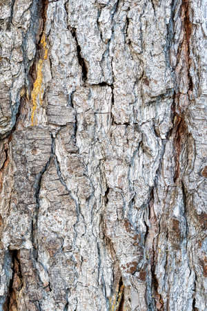 Old pine trunk bark texture