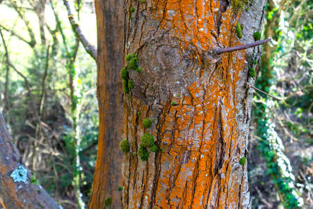 A tree trunk damaged by a lichen red mold in a wet forest. Fungus close up Stock fotó