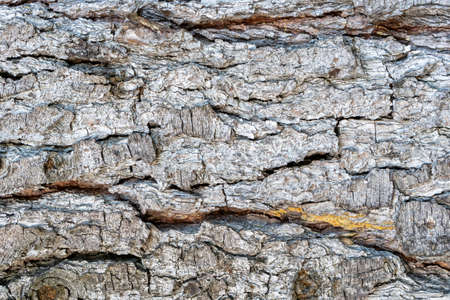 Cracked weathered bark of an old pine trunk close up