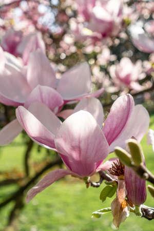 Beautiful purple magnolia flower close-up. Spring flowering magnolia tree in the garden Stock fotó